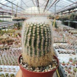 Notocactus neobuenekeri