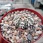Astrophytum asterias cv. Super Kabuto Hanazano