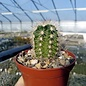 Echinocereus x lloydii