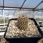 Echinocereus x bayley       (dw)