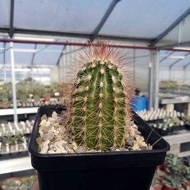 Echinocereus reichenbachii DJF 1308 v. baileyi  Granit, Oklahoma    (dw)