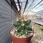 Ferobergia cv. Rody x cv. Violet