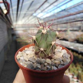 Ferocactus californicus   50 km südl. San Loreto, BC