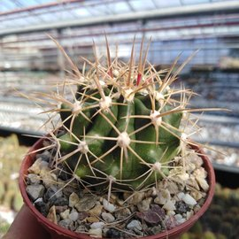 Ferocactus fordii ssp. borealis  El Rosario, Baja California, Mexico