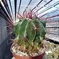 Ferocactus gracilis-Hybr.
