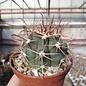 Ferocactus santa-maria