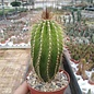Neobuxbaumia polylopha