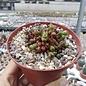 Mammillaria bocasana-monstruosa  cv. Red Fred