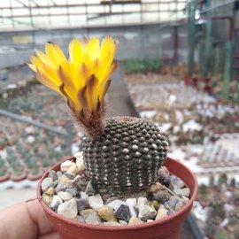 Lobivia famatimensis FR 459 v. Argentinien