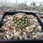 Pediocactus knowltonii      CITES, not outside EU (dw)
