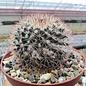 Mammillaria craigii