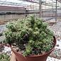 Mammillaria elongata  nudum monstr.