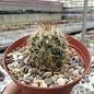 Mammillaria erythrocalyx