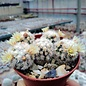 Mammillaria gracilis-Hybr. Buenavista