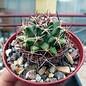 Mammillaria heyderi SB 118 v. meiacantha Manzano Mts., Socorro Co., NM, USA