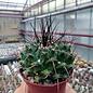 Mammillaria linarensis   nahe Linares