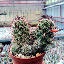 Mammillaria mazatlanensis v. patonii
