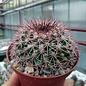 Mammillaria miegeana