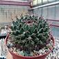 Mammillaria mystax   Caltepec, Puebla