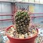 Mammillaria occidentalis  HNT 133.92