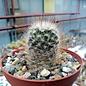 Mammillaria pennispinosa v. nazasensis SB 489 Rodeo, Durango, Mexico
