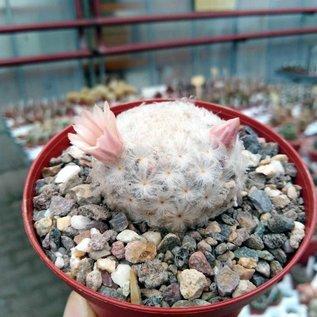 Mammillaria plumosa v. roseiflora