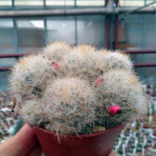 Mammillaria prolifera v. hartiensis  Cerru Cajababo