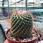 Mammillaria scrippsiana fa. LL sp.n.  30km SW Jesus Maria, Jesus Maria - San Miguel del Zapote