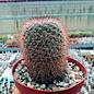 Mammillaria spec.   Malinalco
