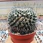 Mammillaria woodsii-Hybr