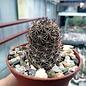 Mammillaria mazatlanensis v. monocentra