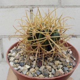 Ferocactus chrysacanthus   Cedros BC