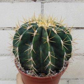 Ferocactus blackii