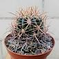 Ferocactus viridescens   Südwestliches San Diego County, California. USA., und nordwestliches Niederkalifornien, Mexico, in Küstennähe, auf Felsen und im Dornbusch, in Höhenlagen von 0 bis 150 m