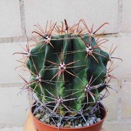 Ferocactus horridus   Schrecklicher Tonnenkaktus