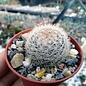 Mammillaria brachytrichion  L 1337 General Escobedo, Durango, MX