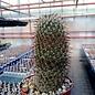 Mammillaria rossiana