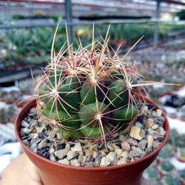 Thelocactus bicolor San Antonio De La Cruz