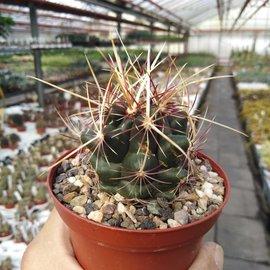 Thelocactus bicolor CR 267 v. schottii