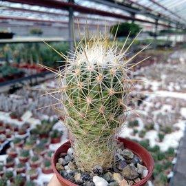 Thelocactus conothelos   Dr. Arroyo, Nuevo Leon, Mx