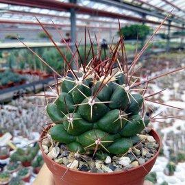 Thelocactus tulensis ssp. huizachensis