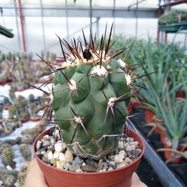 Copiapoa montana FR 522  FR 522 North of Taltal, 02 Antofagasta, Chile