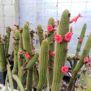 Bolivicereus samaipatanus