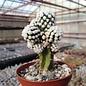 Mammillaria gracilis-Hybr.  Arizona Snowcap  gepfr.