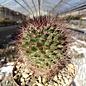 Mammillaria brandegeei