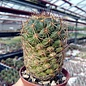 Coryphantha laui   E. Marte, Coah.