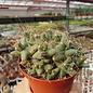 Coryphantha macromeris v. runyonii
