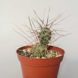 Tephrocactus hossei