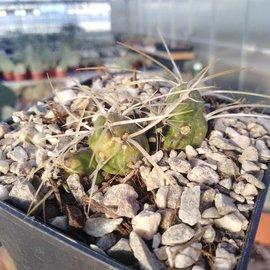 Tephrocactus spec.      (dw)