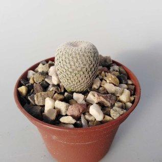 Epithelantha micromeris SB 256  Eddy Co. New Mexico